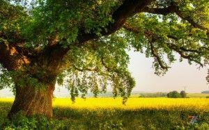 Царственный дуб